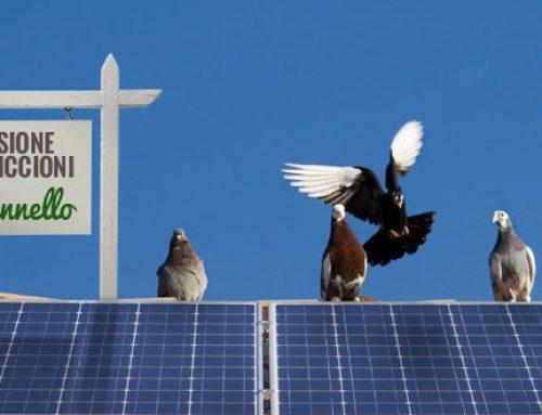 Quando i piccioni si aggirano sull'impianto fotovoltaico